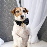 Uggie, el perro de 'The artist', tras hacerse su cinta con el Oscar a la mejor película