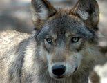 La productora de Leonardo DiCaprio quiere adaptar la historia de la loba alfa O-Six
