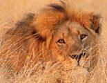 Un vídeo convierte al león Cecil en un Mufasa vengativo