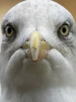 Sully Seagull